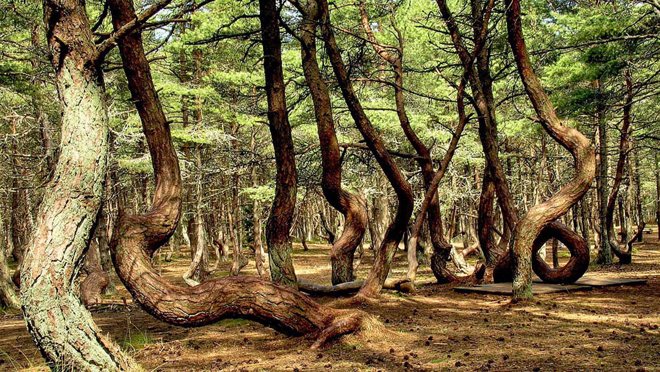 """Из """"танцующего леса"""""""